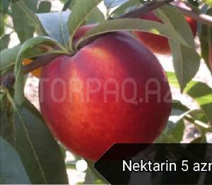 Meyvə tingləri