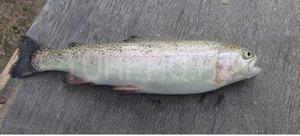 Farel balığı
